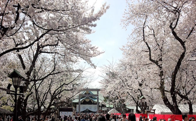 Cherry blossoms, Sakura, at Yasukuni shrine inform the flowering of Tokyo