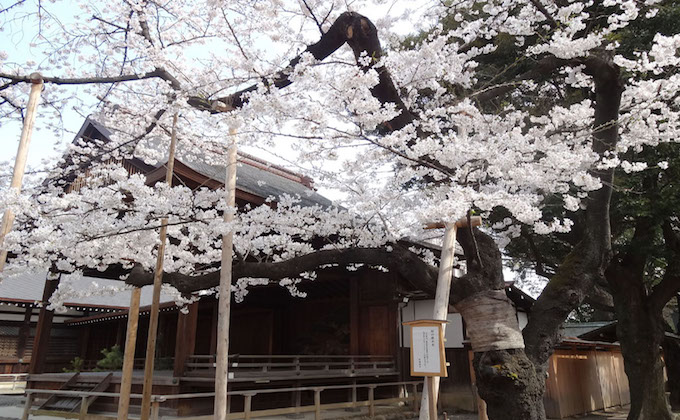 Cherry blossoms, Sakura, at Yasukuni shrine inform the flowering of Tokyo_1