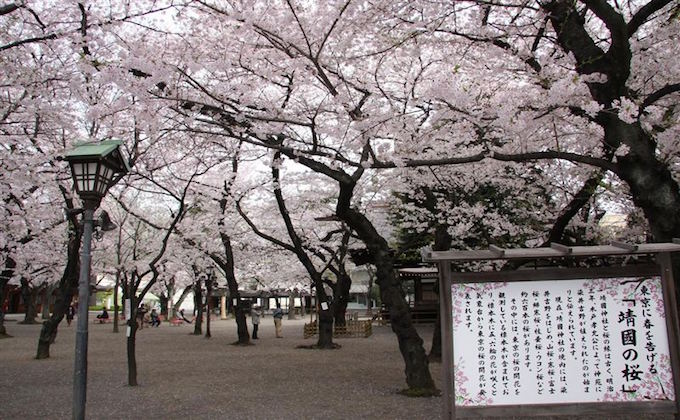 Cherry blossoms, Sakura, at Yasukuni shrine inform the flowering of Tokyo_2