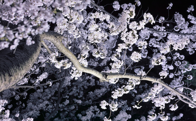 What is Hanami held anywhere while blooming Sakura?_1